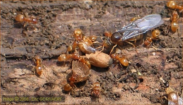 Le cd rom des fourmis - Fourmi rouge et tamanoir ...